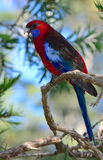 Wild crimson rosella parrot in Australia. Wild crimson rosella parrot in a rainforest in Queensland Australia Stock Photo