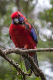 Wild Crimson Rosella, Queen Mary Falls, Queensland, Australia, March 2018. Perched in a tree feeding. Platycercus elegans,Platycercus Pennantii stock photos