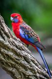 Wild Crimson Rosella, Queen Mary Falls, Queensland, Australia, March 2018. Perched in a tree feeding. Platycercus elegans,Platycercus Pennantii royalty free stock images
