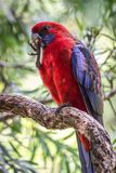 Wild Crimson Rosella, Queen Mary Falls, Queensland, Australia, March 2018. Perched in a tree feeding. Platycercus elegans,Platycercus Pennantii royalty free stock photography