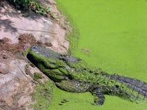 Wild croc Stock Images