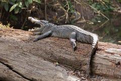 A wild crocodile Stock Photography