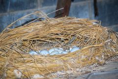 Wild crocodile eggs in the straw nest. Alligator spawned eggs in the straw nest. Wild crocodile eggs in the straw nest. Alligator spawned eggs in the straw nest royalty free stock images
