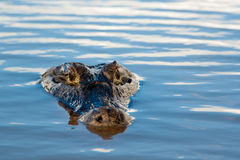 Wild Crocodile in Pantanal, Brazil Stock Image