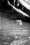 Wild Crocodile Stock Photography