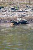 Wild Crocodile Stock Image