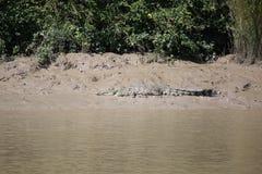 Wild Crocodile Royalty Free Stock Images