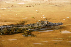 Wild crocodile in yellow Zambezi river Royalty Free Stock Photography