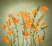 Wild crocosmia flowers Royalty Free Stock Photos