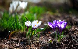 Wild crocus flower grass sun. Spring Royalty Free Stock Image