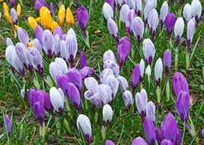 Wild crocus flowers Stock Photos