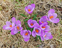 Wild crocus flowers Stock Images