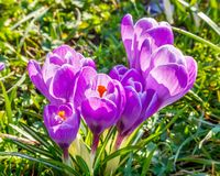 Wild crocus flowers Stock Image