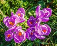 Wild crocus flowers Stock Image