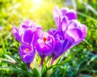 Wild crocus flowers Royalty Free Stock Photography