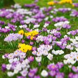 Wild crocus flowers Royalty Free Stock Photo