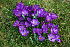 Wild crocuses in grass Royalty Free Stock Photos