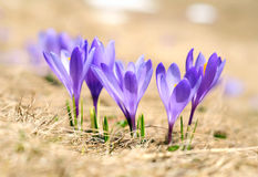 Wild crocuses. Group of five wild crocuses against dry grass Royalty Free Stock Images