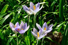 Wild Crocuses in spring time Royalty Free Stock Photography