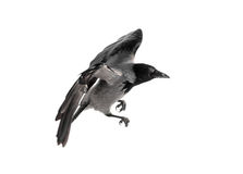 Wild crow in flight. Isolated on white stock photos