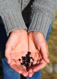 Wild Crowberries, Iceland Royalty Free Stock Photography