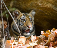 Wild cub Bengal tiger looks out from rocks in the jungle. India. Bandhavgarh National Park. Madhya Pradesh. Royalty Free Stock Photos