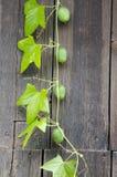 Wild cucumber Stock Photography