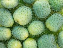 Wild cucumber fruits Stock Photography