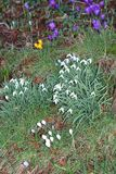 Wild cuddling snowdrops and crocuses, Holland Royalty Free Stock Image