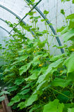 Wild Cultivation of cucumbers in greenhousepink carnation on nat Royalty Free Stock Image