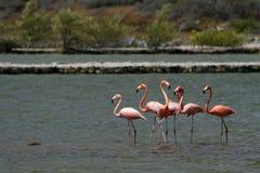 wild curacao flamingos Royaltyfri Bild