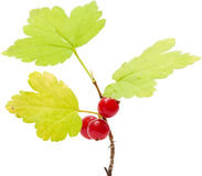 Wild currant isolated Royalty Free Stock Image