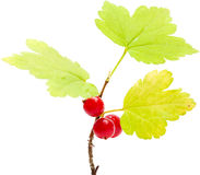 Wild currant isolated Royalty Free Stock Photos