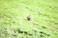 Wild cute rabbit Royalty Free Stock Photography