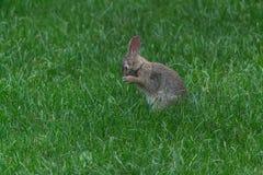 Wild cute rabbit Royalty Free Stock Photos