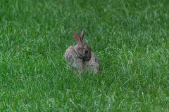 Wild cute rabbit Royalty Free Stock Images