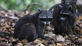 Couple of cute raccoon in the jungle of Costa Rica waiting for food. Wild cute raccoon in the jungle of Costa Rica waiting for food showing teeth Royalty Free Stock Photography