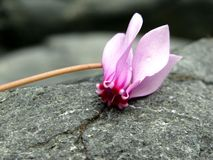 Wild cyclamen blossoms Stock Photos