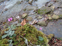 Wild cyclamen flowers among moss at forest creek. Flowering pink and white cyclamens in the forest near the river Stock Photography