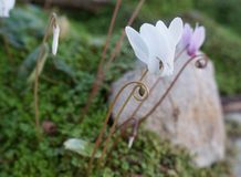 Wild cyclamens Stock Images