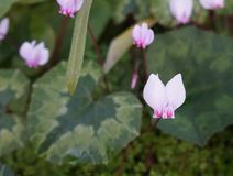 Wild cyclamens. Cyclamen hederifolium close up Stock Image