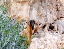 Wild cyprus goat. Portrait of wild cyprus goat Stock Images