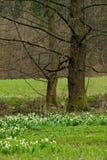 Wild daffodil Royalty Free Stock Image