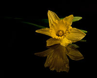 Wild Daffodil on black mirrow Stock Photo