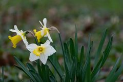 Wild Daffodil Close-up royalty free stock photos
