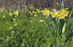 Wild Daffodil Stock Photos