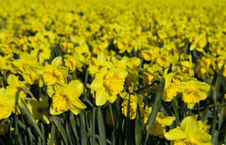 Wild Daffodil Stock Photography