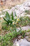 The wild daffodil grows in the mountains. Study of plants. Wild daffodil scientific name Narcissus taretta grows in the mountains in its natural habitat Royalty Free Stock Photos