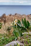 The wild daffodil grows in the mountains. Study of plants. Wild daffodil scientific name Narcissus taretta grows in the mountains in its natural habitat Stock Photography