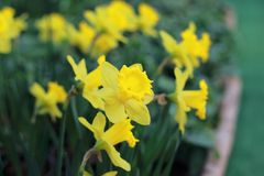 Wild daffodil or Lent lily Royalty Free Stock Photos